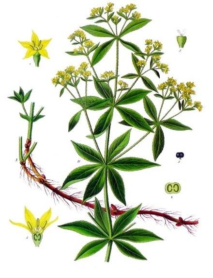 440px-Rubia_tinctorum_-_Köhler–s_Medizinal-Pflanzen-123